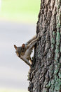 Free Curious Grey Squirrel Stock Photo - 29169070