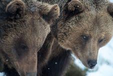 Free Brown Bear &x28; Ursus Arctos &x29; Royalty Free Stock Photo - 29162955