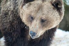 Free Brown Bear &x28; Ursus Arctos &x29; Royalty Free Stock Image - 29162966