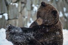 Free Brown Bear &x28; Ursus Arctos &x29; Royalty Free Stock Photography - 29162977