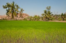 Free Green Rice Field Royalty Free Stock Photography - 29164037
