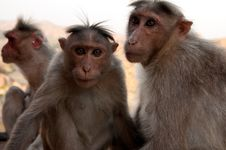 Free Pair Of Monkeys Stock Photo - 29164140