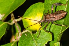 Free Leaf-legged Stink Bug Royalty Free Stock Photo - 29169025