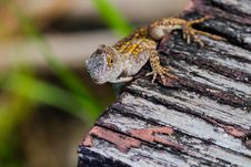 Free Anole With Yellow Spots Stock Photography - 29169122