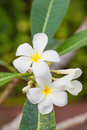Free White Frangipani Stock Photography - 29170972