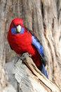 Free Australian Crimson Rosella Royalty Free Stock Photos - 29175768