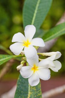 White Frangipani Stock Photography