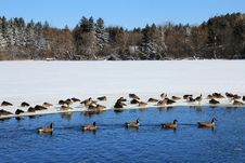 Free Geese At Winter Royalty Free Stock Images - 29174179