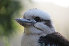 Free Australian Kookaburra Royalty Free Stock Photography - 29175757