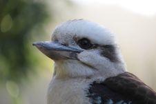 Free Australian Kookaburra Royalty Free Stock Photography - 29175757