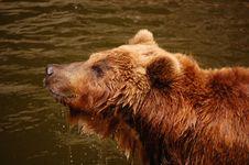 Free Kamchatka Bear Stock Photography - 29184322
