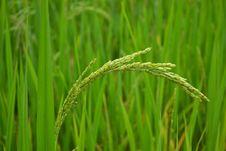 Free Stalk Of Rice Stock Photo - 29184350