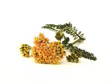 Free Yarrow Herb Royalty Free Stock Images - 29184549