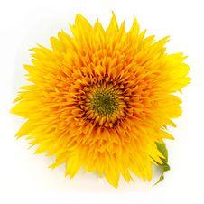 Free Sunflower Royalty Free Stock Image - 29184796