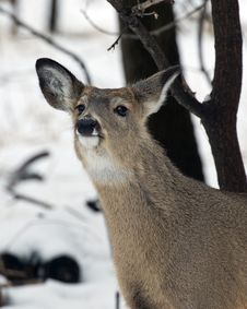 Free Sniffing Deer Royalty Free Stock Photography - 29197007