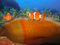 Free Tropical Clown Fish Family Royalty Free Stock Images - 2920979