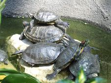 Free Turtles3 Royalty Free Stock Photography - 2920857