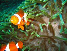 Free Tropical Clown Fish Royalty Free Stock Image - 2920866