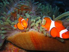 Free Tropical Clown Fish Family Stock Photography - 2920932