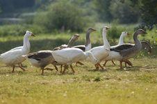 Free Geese Royalty Free Stock Image - 2921316