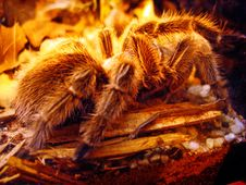 Free Tarantula Spider Royalty Free Stock Photos - 2922088