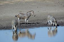 Free Herd Of Zebras. Stock Photos - 2924363