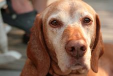 Free Vizsla Face Closeup Stock Image - 2925601