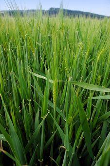 Field Of Green Barley Royalty Free Stock Photo