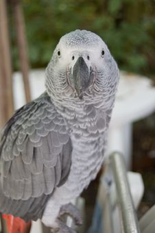 Free Grey Parrot Royalty Free Stock Photos - 2925768