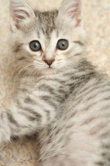Sight Of A Small Grey Kittenwi Stock Photos