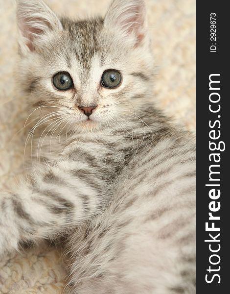 Sight of a small grey kittenwi