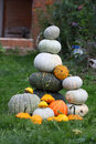 Free Fresh Harvested Pumpkins Stock Photography - 29209922