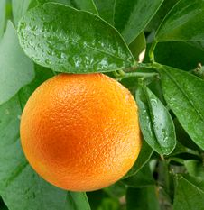 Oranges On A Citrus Tree. Royalty Free Stock Photography