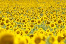 Free Sunflowers Field Royalty Free Stock Image - 29202846