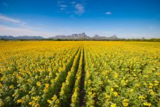 Free Sunflower Field Stock Photography - 29202962
