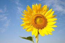 Free SUNFLOWER Stock Photography - 29202982