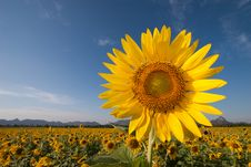 Free SUNFLOWER Royalty Free Stock Photography - 29203137