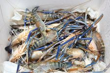 Free Living Crawfish Stock Photo - 29203280