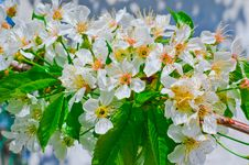 Free Blooming Cherry Branch Royalty Free Stock Photos - 29204858