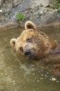 Free Brown Bear Taking A Bath In The Lake. Stock Photo - 29217630