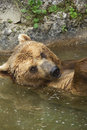 Free Brown Bear Taking A Bath In The Lake. Stock Photography - 29217632