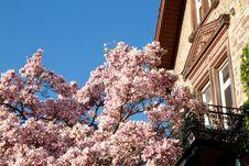 Free Magnolia Tree Royalty Free Stock Image - 29213476