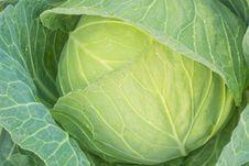 Free Green Cabbage Stock Photos - 29214783