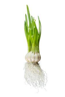 Free Sprouting Garlic Royalty Free Stock Images - 29214879