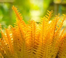 Golden Fern Royalty Free Stock Image