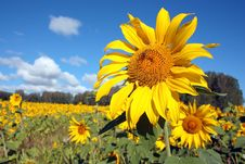 Free A Field Of Yellow Sunflowers Stock Image - 29215161