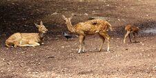 Free Deers Stock Image - 29217441