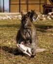 Free Kangaroo With Joey Royalty Free Stock Image - 29223076