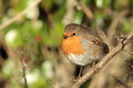 Free Robin. Royalty Free Stock Photography - 29229077