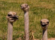 Free Three Ostriches Royalty Free Stock Image - 29223266